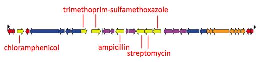 Multidrug resistance locus in Salmonella Typhi