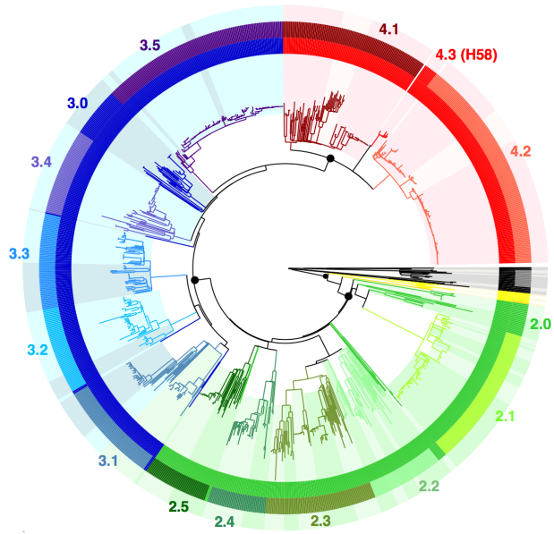 Fig1_noH58_clade_colours_subcladebg_190515_labelled_ED.png